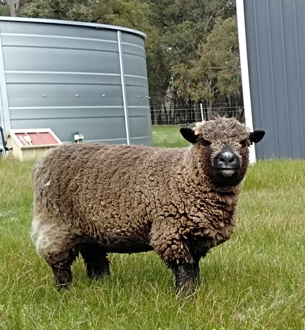 Coloured Babydoll Southdown Sheep