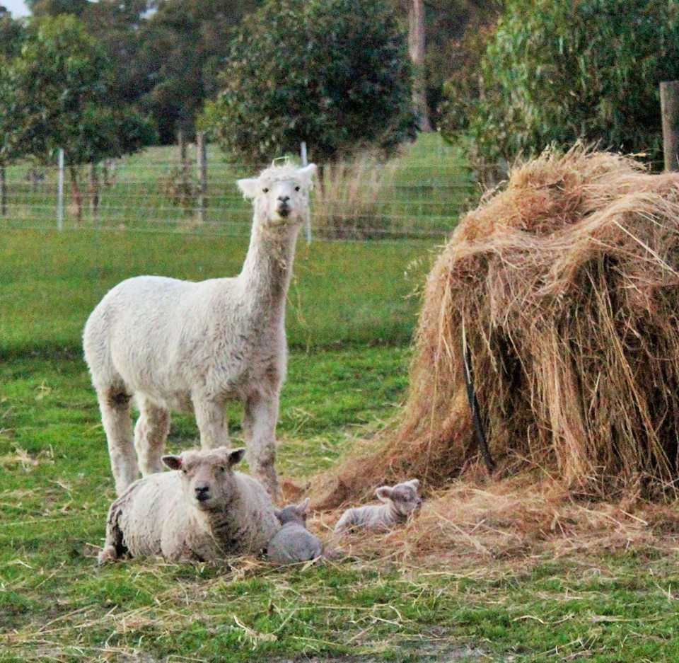 Alpaca protecting Babydoll Lambs from Foxes