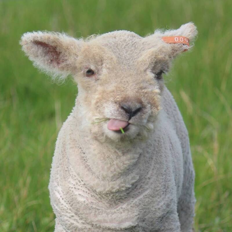 Babydoll lamb poking his tongue out