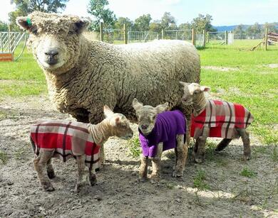 Babydoll ewe with triplet lambs