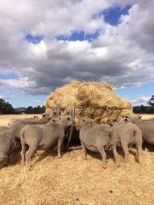 Babydoll ewes on hay