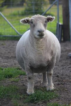 Babydoll ewe that has been shorn by the shearer