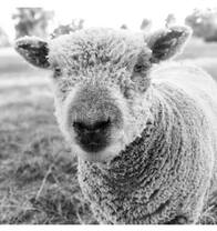 Babydoll ewe Tanjar Little Mouse is a fine example of a Babydoll Southdown Sheep