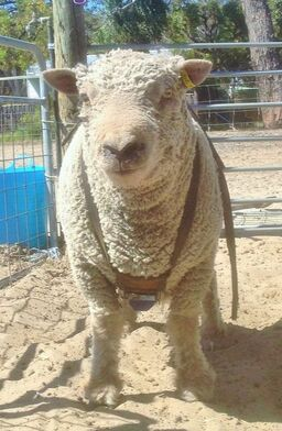Babydoll Ram wearing ram harness