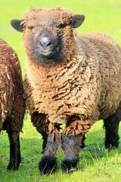 Picture Coloured Babydoll Southdown Sheep