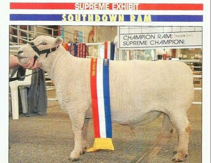 Champion Babydoll Ram Tanjar Little Spot has gained enough points to be Titled Australian Champion