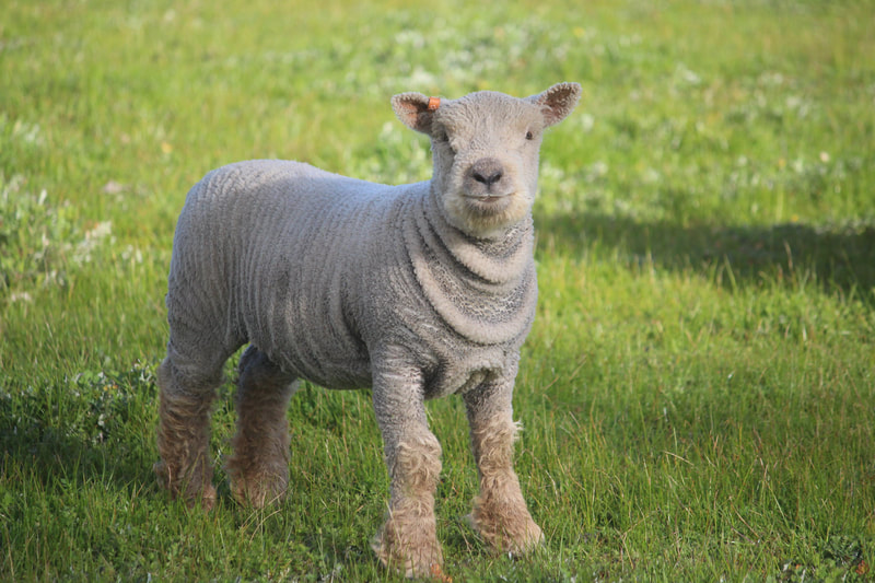 Babydoll ewe lamb with wrinkles in wool