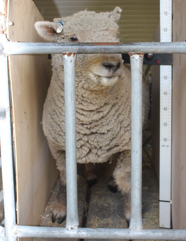 Picture Babydoll Southdown Ewe photo used for AABMGS Registration
