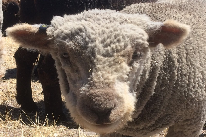 Babydoll ewe with shorn face