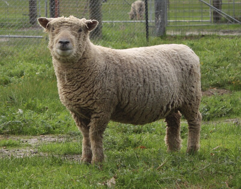 Babydoll ewe in full wool