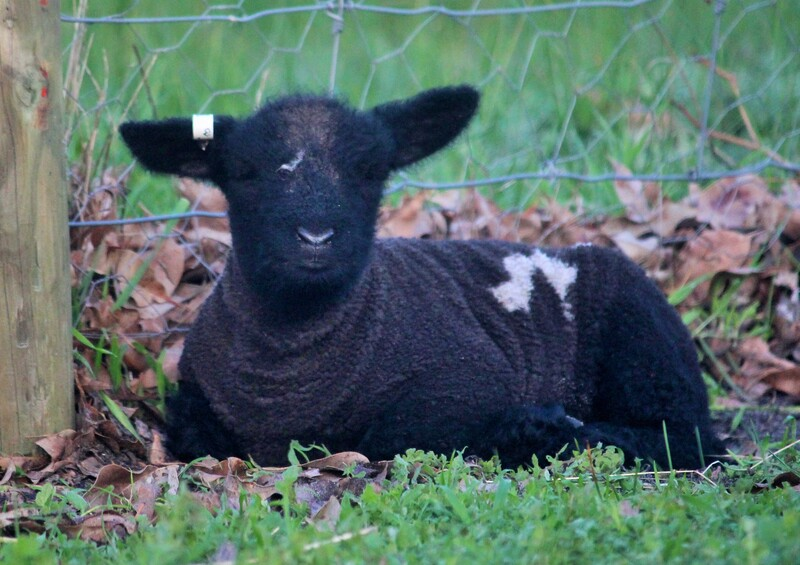 Coloured Babydoll Southdown Lamb