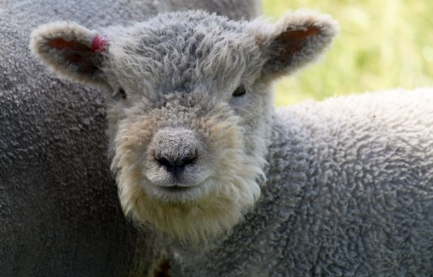 Babydoll ewe with woolly face