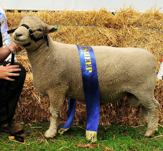 Picture Champion Babydoll Ram Tanjar Little Spot